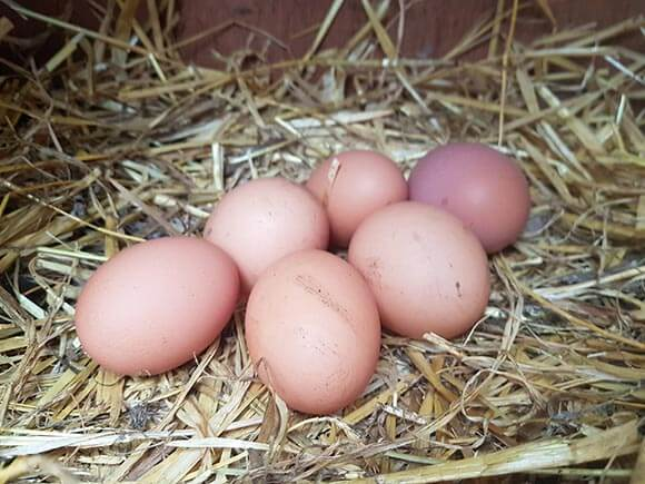 fresh-eggs-from-home-kept-chickens
