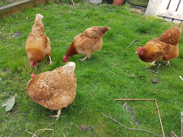 Chickens roaming around the back garden