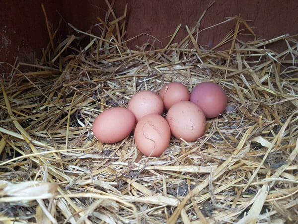 Home produced chicken eggs